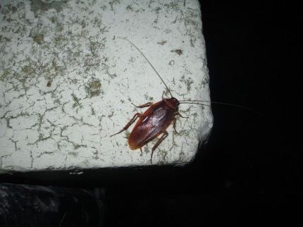 New Orleans cockroach